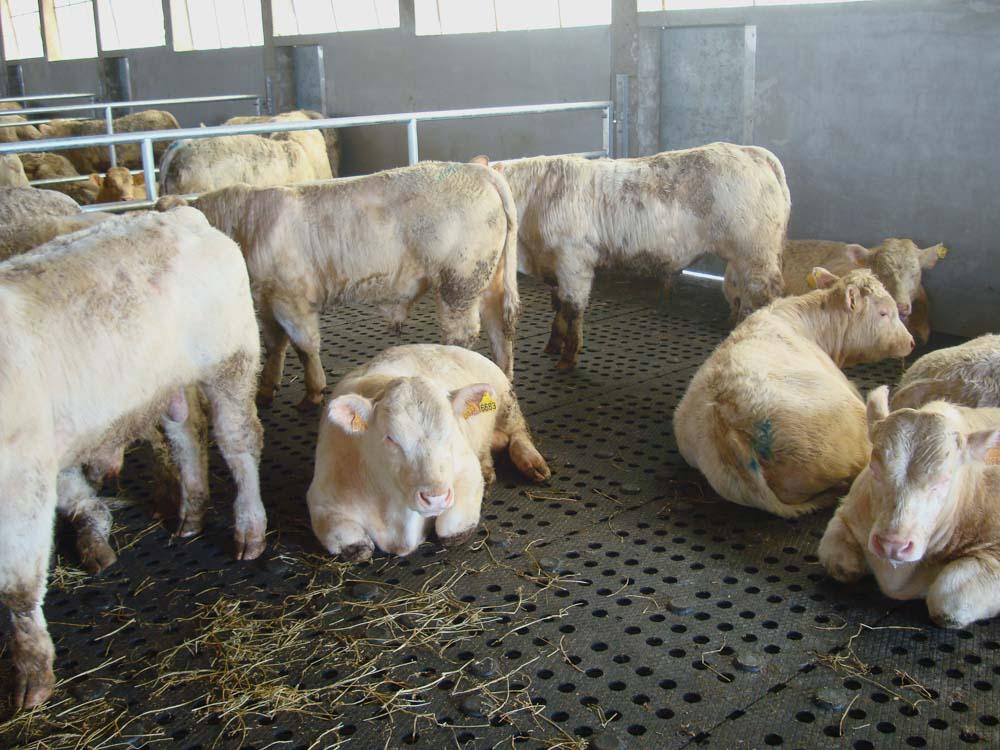 box da ingrasso bovini da latte
