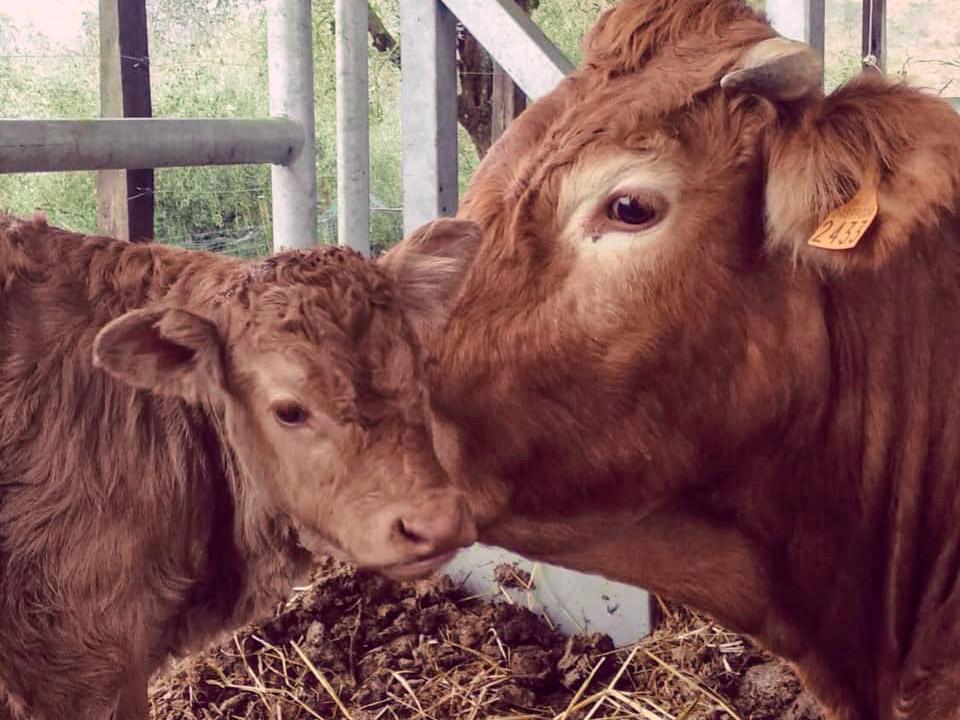 vacca vitello